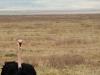 Struds på Serengeti